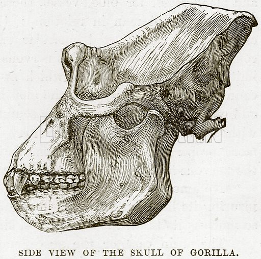 Side View of the Skull of Gorilla. Illustration from Cassell's Natural History (Cassell, 1883).