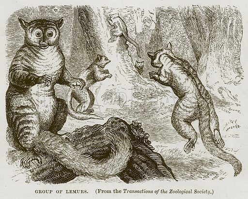Group of Lemurs. Illustration from Cassell's Natural History (Cassell, 1883).