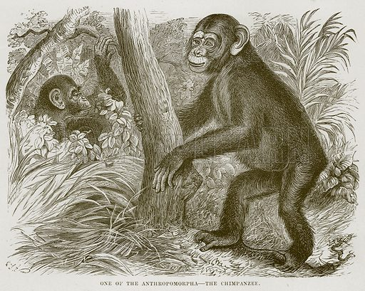 One of the Anthropomorpha – The Chimpanzee. Illustration from Cassell's Natural History (Cassell, 1883).