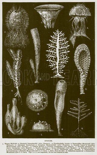 Sponges. A, Thenea Wallichii – a Choristid Tetractinellid; B, Chondrocladia Virgata – a Desmacidine Monaxonid; C, Askonema Setablalense – a Lyssakine Hexactinellid; D, Rossella Velata – a Lyssakine Hexactinellid; E, Luffaria Archeri – a Ceratine Cerospongia; F, Ascandra Sertularia – an Ascon Calcisponge; G, Sycetta Primitiva – a Sycon Calcisponge; H, Sycortis Levigata – a, Sycon Calcisponge; I, Sycometra Ciliata – a Sycon Calcisponge; K, Trichostemma Hemisphericum – a Suberite Monaxonid; L, Ditto, from the Side; M, Cladorhiza Abyssicola – a Desmacidine Monaxonid. Figs. F, G, I, are Magnified; all the rest reduced in Size. Illustration from Cassell's Natural History (Cassell, 1883).