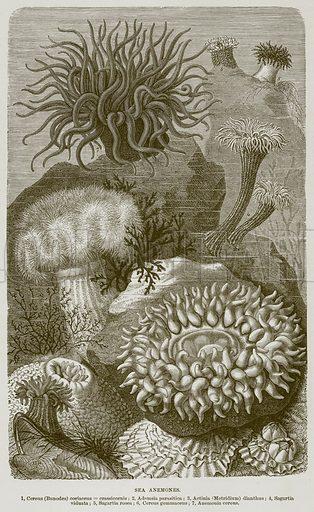 Sea Anemones. 1, Cereus (Bunodes) Coriaccus=Crassicornis; 2, Adamsia Parasitiea; 3, Actinia (Metridium) Dianthus; 4, Sagartia Viduata; 5, Sagartia Rosea; 6, Cereus Gemmaceus; 7, Anemonia Cereus. Illustration from Cassell's Natural History (Cassell, 1883).