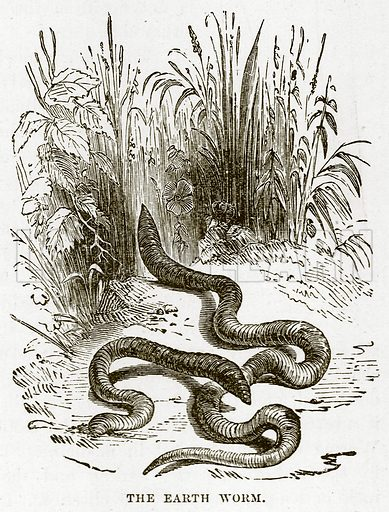 The Earth Worm. Illustration from Cassell's Natural History (Cassell, 1883).