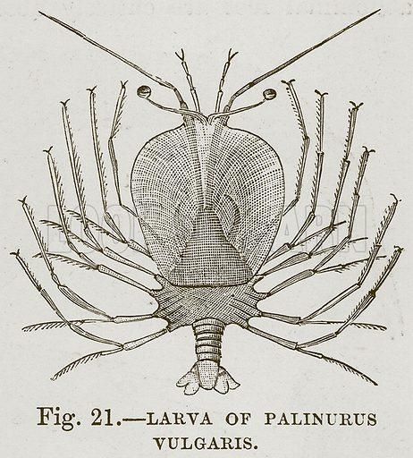 Larva of Palinurus Vulgaris. Illustration from Cassell's Natural History (Cassell, 1883).