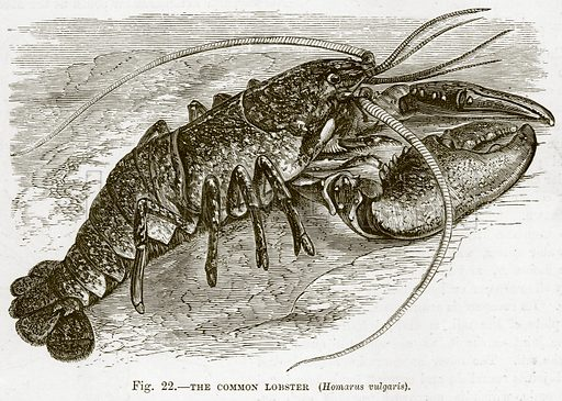 The Common Lobster. (Homarus Vulgaris). Illustration from Cassell's Natural History (Cassell, 1883).