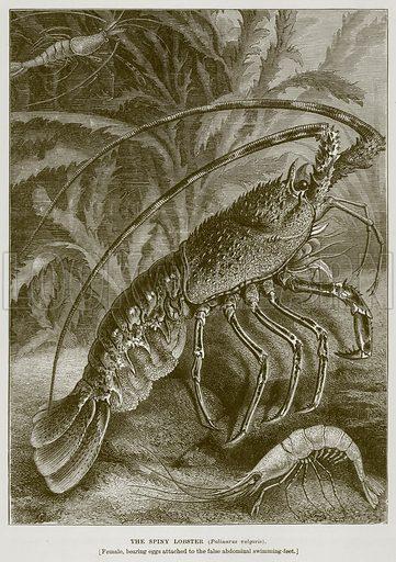 The Spiny Lobster (Palinurus Vulgaris). Illustration from Cassell's Natural History (Cassell, 1883).