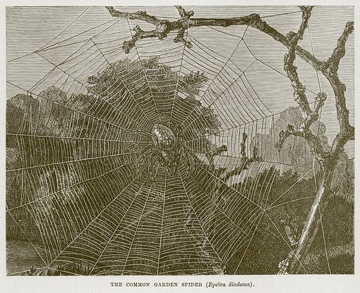 The Common Garden Spider (Epeira Diadema). Illustration from Cassell's Natural History (Cassell, 1883).