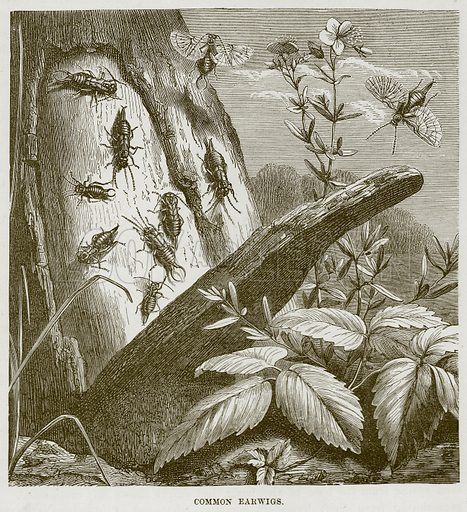Common Earwigs. Illustration from Cassell's Natural History (Cassell, 1883).