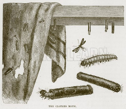 The Clothes Moth. Illustration from Cassell's Natural History (Cassell, 1883).