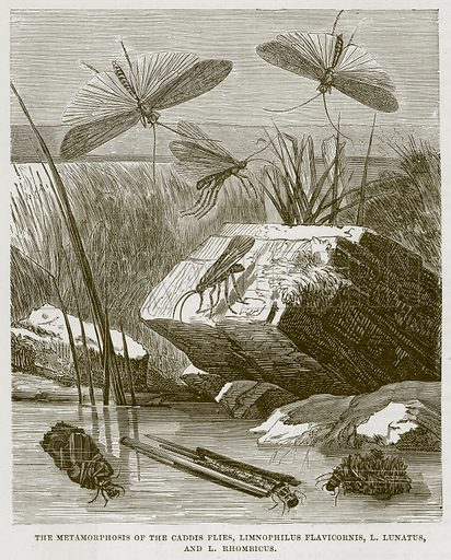 The Metamorphosis of the Caddis Flies, Limnophilus Flavicornis, L Lunatusm and L Rhombicus. Illustration from Cassell's Natural History (Cassell, 1883).