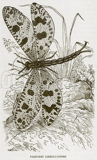 Palpares Libelluloides. Illustration from Cassell's Natural History (Cassell, 1883).