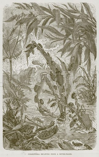 Coleoptera escaping from a River-Flood. Illustration from Cassell's Natural History (Cassell, 1883).