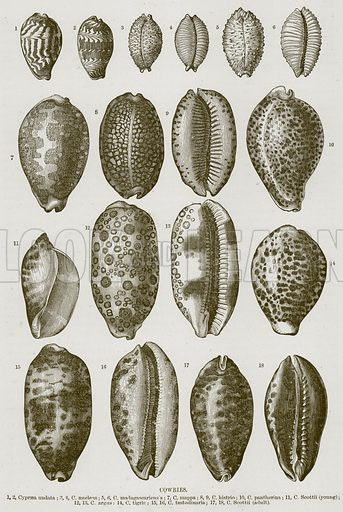Cowries. 1, 2, Cypraea Undata; 3, 4, C Nucleus; 5, 6, C Madagascariens's; 7, C Mappa; 8, 9, C Histrio; 10, C Pantherina; 11, C Scottii (Young); 12, 13, C Argus; 14, C Tigris; 15, 16, C Testudinaria; 17, 18, C Scottii (Adult). Illustration from Cassell's Natural History (Cassell, 1883).