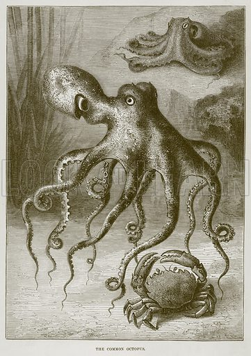 The Common Octopus. Illustration from Cassell's Natural History (Cassell, 1883).