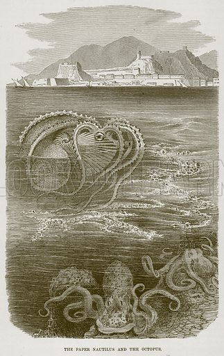 The Paper Nautilus and the Octopus. Illustration from Cassell's Natural History (Cassell, 1883).