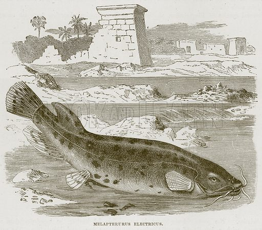 Melapterurus Electricus. Illustration from Cassell's Natural History (Cassell, 1883).