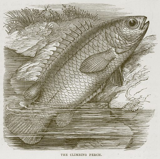 The Climbing Perch. Illustration from Cassell's Natural History (Cassell, 1883).