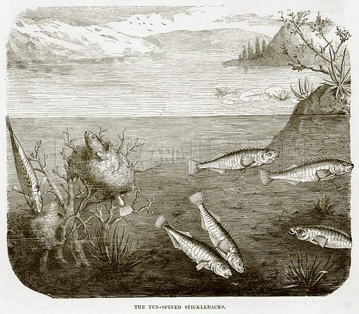 The Ten-Spined Sticklebacks. Illustration from Cassell's Natural History (Cassell, 1883).