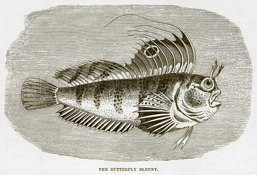 The Butterfly Blenny. Illustration from Cassell's Natural History (Cassell, 1883).