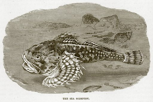 The Sea Scorpion. Illustration from Cassell's Natural History (Cassell, 1883).