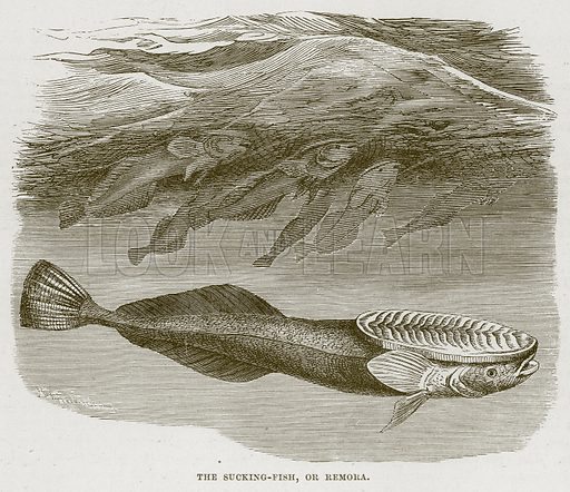 The Sucking-Fish, or Remora. Illustration from Cassell's Natural History (Cassell, 1883).