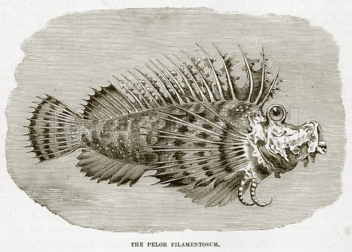 The Pelor Filamentosum. Illustration from Cassell's Natural History (Cassell, 1883).