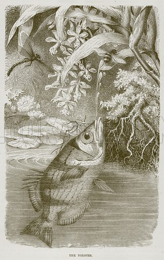 The Toxotes. Illustration from Cassell's Natural History (Cassell, 1883).