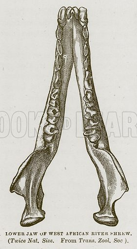 Lower Jaw of West African River Shrew. Illustration from Cassell's Natural History (Cassell, 1883).