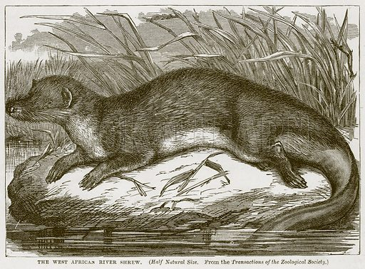 The West African River Shrew. Illustration from Cassell's Natural History (Cassell, 1883).