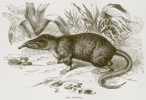 The Agouta. Illustration from Cassell's Natural History (Cassell, 1883).