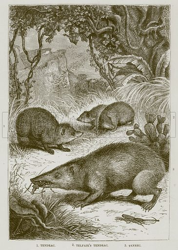 1. Tendrac. 2. Telfair's Tendrac. 3. Tanrec. Illustration from Cassell's Natural History (Cassell, 1883).