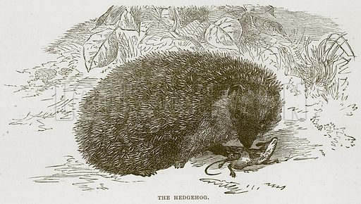 The Hedgehog. Illustration from Cassell's Natural History (Cassell, 1883).