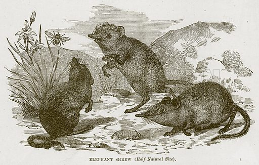 Elephant Shrew. Illustration from Cassell's Natural History (Cassell, 1883).