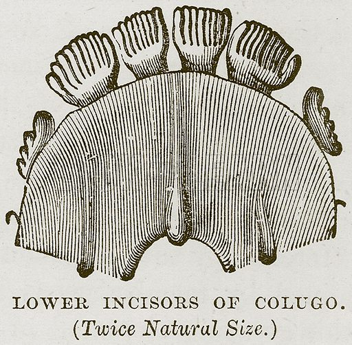 Lower Incisors of Colugo. Illustration from Cassell's Natural History (Cassell, 1883).
