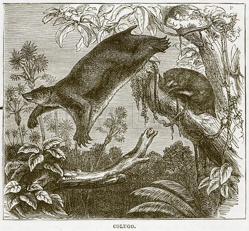 Colugo. Illustration from Cassell's Natural History (Cassell, 1883).