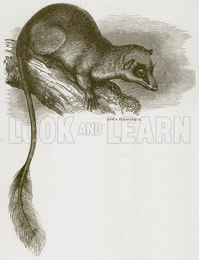 Low's Ptilocerque. Illustration from Cassell's Natural History (Cassell, 1883).