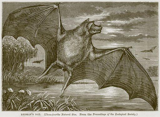 Redman's Bat. Illustration from Cassell's Natural History (Cassell, 1883).