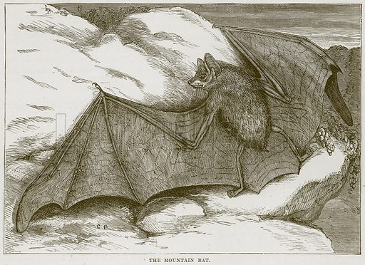 The Mountain Bat. Illustration from Cassell's Natural History (Cassell, 1883).