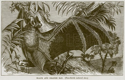 Black and Orange Bat. Illustration from Cassell's Natural History (Cassell, 1883).