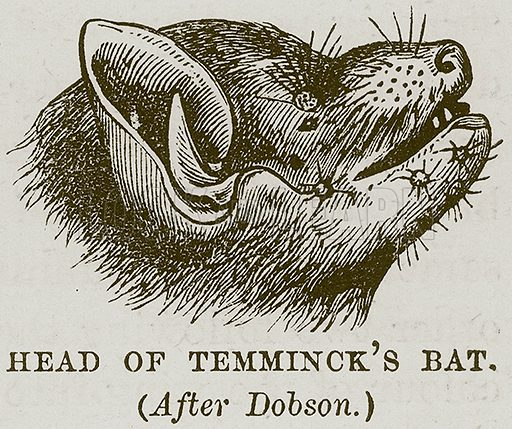 Head of Temminck's Bat. Illustration from Cassell's Natural History (Cassell, 1883).