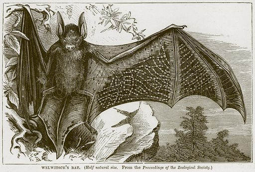 Welwitsch's Bat. Illustration from Cassell's Natural History (Cassell, 1883).