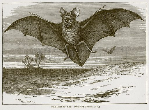 The Desert Bat. Illustration from Cassell's Natural History (Cassell, 1883).