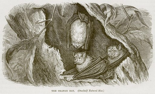 The Orange Bat. Illustration from Cassell's Natural History (Cassell, 1883).