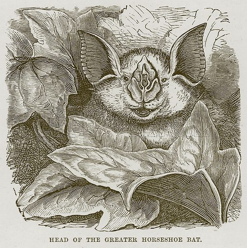 Head of the Greater Horseshoe Bat. Illustration from Cassell's Natural History (Cassell, 1883).