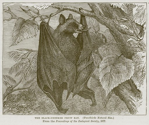 The Black-Cheeked Fruit Bat. Illustration from Cassell's Natural History (Cassell, 1883).