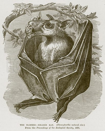 The Hammer-Headed Bat. Illustration from Cassell's Natural History (Cassell, 1883).
