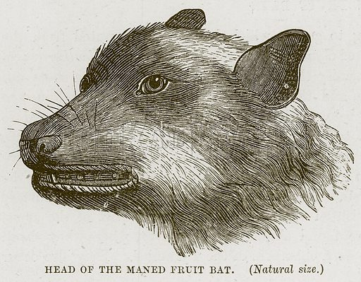 Head of the Maned Fruit Bat. Illustration from Cassell's Natural History (Cassell, 1883).