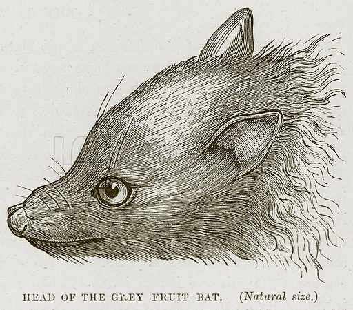 Head of the Grey Fruit Bat. Illustration from Cassell's Natural History (Cassell, 1883).