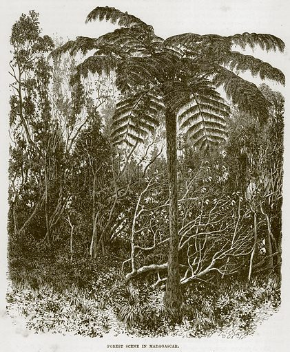 Forest Scene in Madagascar. Illustration from Cassell's Natural History (Cassell, 1883).