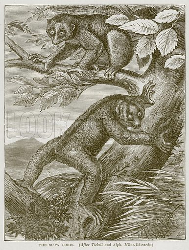 The Slow Loris. Illustration from Cassell's Natural History (Cassell, 1883).