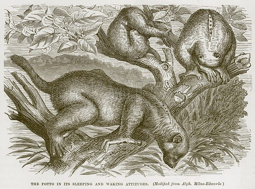 The Potto in its Sleeping and Waking Attitudes. (Modified from Alph. Milne-Edwards). Illustration from Cassell's Natural History (Cassell, 1883).